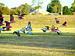 Galahs on the wing