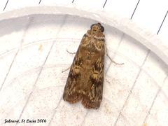 SL63J Hypsipyla grandella (Mahogany Shoot-borer)