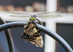Dragonfly eating a butterfly