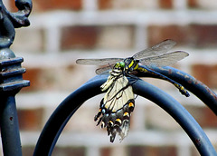 Dragonfly feasting on a butterfly
