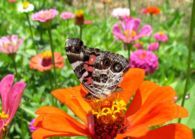 American Lady  on Zinnia