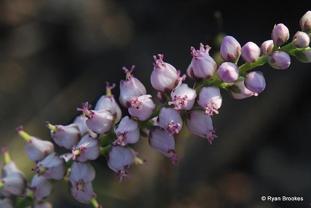 20091105-0207 Tamarix ericoides Rottler & Willd.