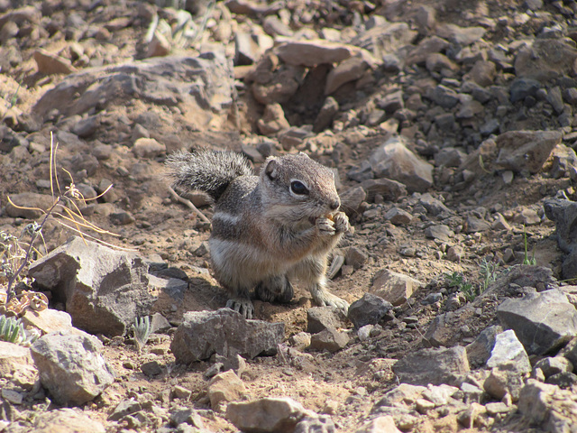 Picacho Peak Squirrel
