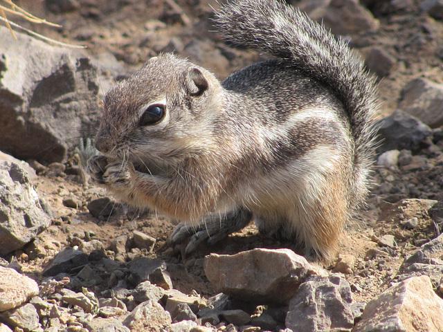 Picacho Peak Squirrel
