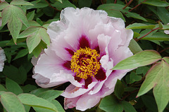 Bojanta floro