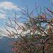 20100126-0618 Prunus cerasoides D.Don