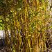 20140310 0844VRAw [D-E] Bambus, Gruga-Park, Essen