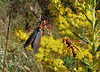 Virginia Ctenucha Moth and Wasp