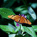 Julia Heliconius Butterfly