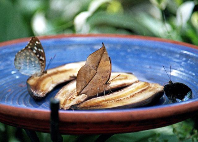 Dead Leaf Butterfly - Wings Closed