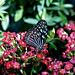 Blue Glassy Tiger Butterfly