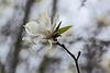 20140322 1113VRAw [D-OB] Tulpen-Magnolie, Wald Ripshorst