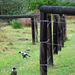 Magpies and Fence