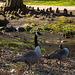 20140310 0792VRAw [D-E] Kanadagans, Gruga-Park, Essen