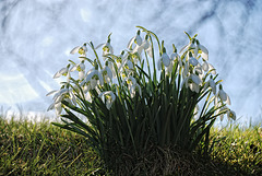 Spring -- Snowdrops... yeah!