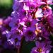 20140310 0785VRAw [D-E] Riesen-Steinbrech (Bergonia cordifolia), Gruga-Park, Essen