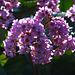 20140310 0783VRAw [D-E] Riesen-Steinbrech (Bergonia cordifolia), Gruga-Park, Essen