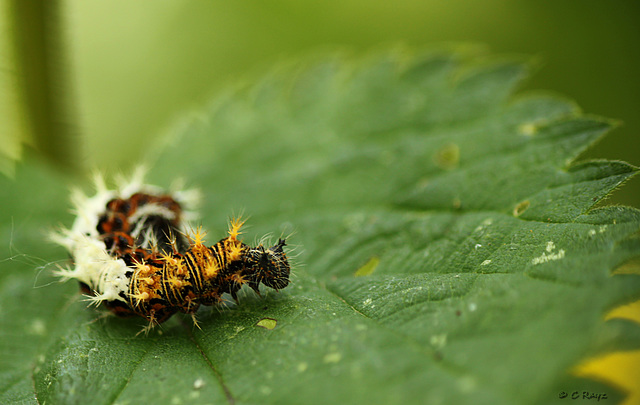 Comma Caterpillar