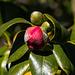 20140310 0781VRAw [D-E] Kamelie (Camellia japonica 'Mamiji-Gari'), Gruga-Park, Essen