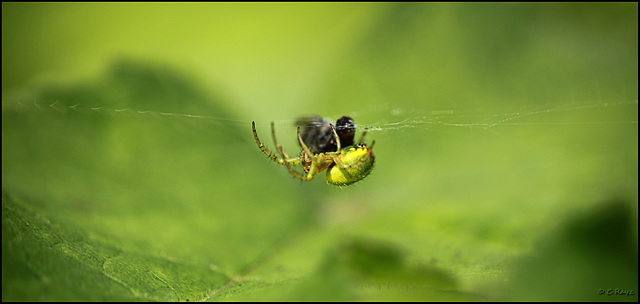Green Orb-weaver