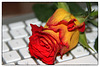 Red and yellow rose on keyboard