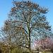 20140310 0755VRAw [D-E] Blauglockenbaum (Paulownia tomentosa), Gruga-Park, Essen