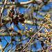 20140310 0754VRAw [D-E] Blauglockenbaum, (Paulownia tomentosa), Samenkapseln, Knospen, Gruga-Park, Essen