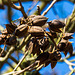 20140310 0753VRAw [D-E] Blauglockenbaum, (Paulownia tomentosa), Samenkapseln, Gruga-Park, Essen