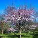 20140310 0750VRAw [D-E] Scharlachkirsche (Prunus sargentii 'Accolade'), Gruga-Park, Essen