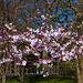 20140310 0749VRAw [D-E] Scharlachkirsche (Prunus sargentii 'Accolade'), Gruga-Park, Essen