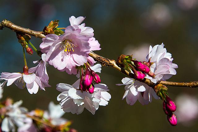 20140310 0748VRAw [D-E] Scharlachkirsche (Prunus sargentii 'Accolade'), Gruga-Park, Essen