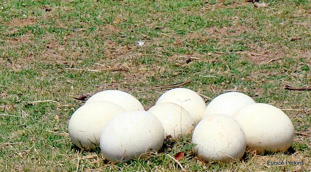 Ostrich eggs