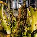 20140310 0741VRAw [D-E] Hirschzungenfarn (Phyllitis scolopendrium), Gruga-Park, Essen