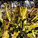 20140310 0740VRAw [D-E] Hirschzungenfarn (Phyllitis scolopendrium), Gruga-Park, Essen