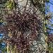 20140310 0738VRAw [D-E] Amerikanischer Lederhülsenbaum (Gleditsia triacanthos) [Gleditschie], Gruga-Park, Essen