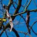 20140310 0737VRAw [D-E] Amerikanischer Lederhülsenbaum (Gleditsia triacanthos) [Gleditschie], Gruga-Park, Essen