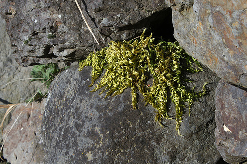 Mousse - Hypnum lacunosum