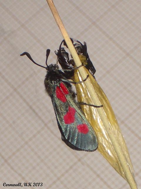 0170 Zygaena trifolii (Five-spot Burnet)