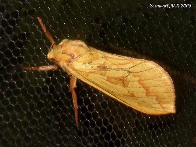 0014 Hepialus humuli (Ghost Moth [Swift])