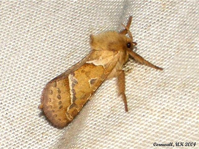 0015 Hepialus sylvina (Orange Swift)