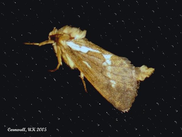 0017 Hepialus lupulinus (Common Swift)