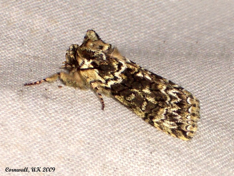 1660 Polyploca ridens (Frosted Green)