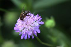 20100812 7455Tw [D~BI] Skabiose, Insekt, Botanischer Garten