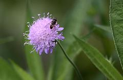 20100812 7456Tw [D~BI] Skabiose, Insekt, Botanischer Garten