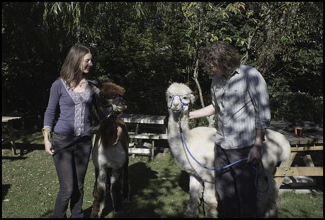 Alpacas in the beer garden