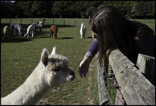 Alpaca performing human quality control check