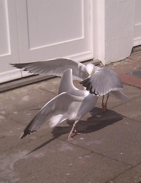 Combat gulls
