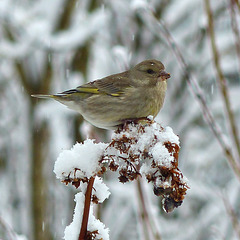 P1080969- Verdier d'Europe femelle - Jardin  28 février 2014