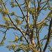 20100315-0172 Dillenia pentagyna Roxb.