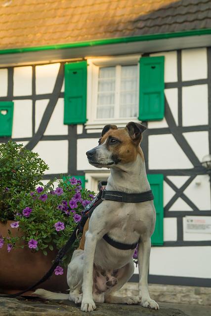 Jack Russell Terrier Rico DSC02498
